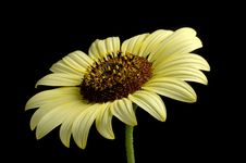 Free Sunflower Royalty Free Stock Photography - 1244897