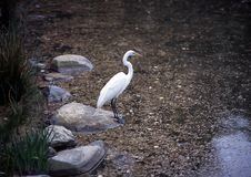 Free Ibis, Brooklyn Botanic Garden Stock Images - 1245444