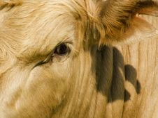 Free Face To Face With The Cow Stock Photo - 1248270