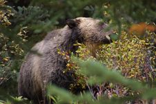 Free Grizzly Bear Stock Image - 1248631