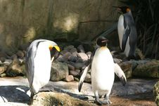 Free Penguin Royalty Free Stock Photo - 1248645