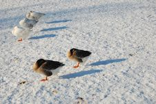 Free Geese In The Snow Stock Photos - 12414303