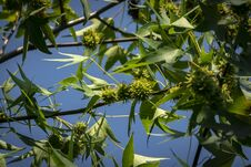 Free Seeds Of Liquidambar Styraciflua, Ambeer Tree In Focus Edged With Blurred Green Leaves, In Summer Day Stock Photography - 124267052