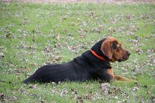Free Dog, Dog Breed, Dog Like Mammal, Polish Hunting Dog Stock Photos - 124418903
