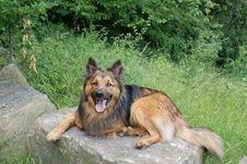Free Dog, Old German Shepherd Dog, Mammal, Dog Breed Royalty Free Stock Photos - 124418948