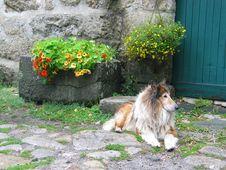 Free Dog Breed Group, Dog, Dog Like Mammal, Shetland Sheepdog Stock Image - 124418971