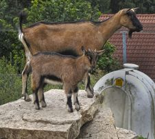 Free Goats, Goat, Fauna, Cow Goat Family Royalty Free Stock Images - 124419039