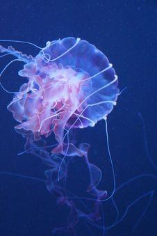 Free Jellyfish, Cnidaria, Marine Invertebrates, Invertebrate Stock Images - 124419334