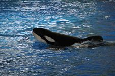 Free Mammal, Marine Mammal, Killer Whale, Whales Dolphins And Porpoises Royalty Free Stock Image - 124419396