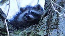 Free Raccoon, Procyonidae, Mammal, Fauna Royalty Free Stock Images - 124419529