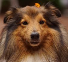 Free Dog, Dog Breed, Rough Collie, Scotch Collie Stock Images - 124419574