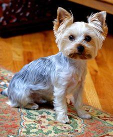 Free Dog, Dog Like Mammal, Dog Breed, Terrier Royalty Free Stock Images - 124419899