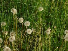 Free Grass, Flower, Dandelion, Plant Stock Image - 124708471