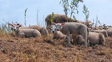 Free Sheep, Herd, Livestock, Cow Goat Family Royalty Free Stock Photo - 124709005