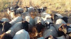 Free Herd, Sheep, Goats, Fauna Stock Photo - 124771940