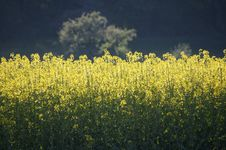 Free Rapeseed, Yellow, Canola, Field Royalty Free Stock Photos - 124771958