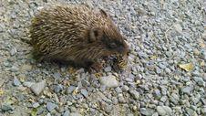 Free Hedgehog, Domesticated Hedgehog, Fauna, Mammal Royalty Free Stock Photo - 124772115