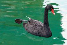 Free Bird, Black Swan, Water, Water Bird Royalty Free Stock Image - 124772576