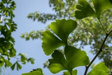 Free Brightly Green Carved Leaves Of Ginkgo Biloba Close-up Against A Background Of Blurry Foliage Royalty Free Stock Images - 124774109
