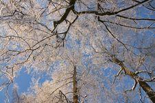 Free Winter Trees Royalty Free Stock Image - 12488466