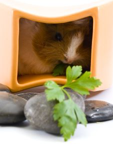 Free Little Guinea Pig Royalty Free Stock Photography - 12496727