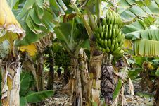 Free Banana, Plant, Saba Banana, Matoke Royalty Free Stock Photos - 124938698