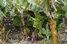 Free Plant, Tree, Banana, Arecales Royalty Free Stock Photo - 124938785