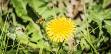 Free Flower, Honey Bee, Nectar, Dandelion Royalty Free Stock Photography - 124938807