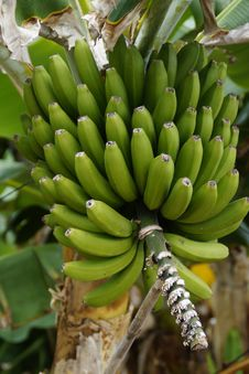 Free Plant, Saba Banana, Banana, Flora Royalty Free Stock Photo - 124938855
