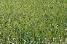 Free Grass, Field, Crop, Ecosystem Stock Photos - 124938873