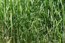 Free Grass, Plant, Crop, Grass Family Royalty Free Stock Image - 124938926
