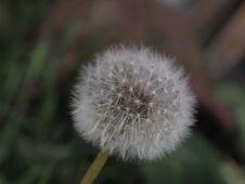 Free Flower, Dandelion, Flora, Plant Royalty Free Stock Images - 124939149
