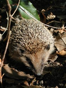 Free Hedgehog, Domesticated Hedgehog, Monotreme, Erinaceidae Royalty Free Stock Photography - 124939487