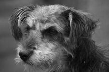 Free Dog, Black And White, Dog Like Mammal, Dog Breed Stock Photography - 124940132