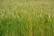 Free Crop, Grass, Food Grain, Grass Family Stock Photos - 124940383
