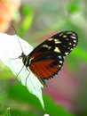 Free Side View Of A Brown Clipper Butterfly Stock Photos - 1253783