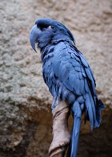 Free Blue Parrot Stock Images - 1250464