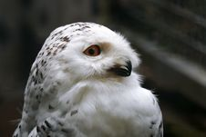 Free White Owl Stock Photography - 1251142