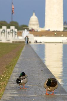 Ducks On US Capitol Background Stock Image