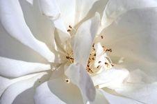 Free White Rose Close-up Stock Photos - 1251613