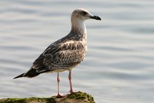 Free Sea Gull Close-up Royalty Free Stock Photo - 1251965