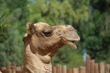 Free Mr. Camel Head Royalty Free Stock Photos - 1252018