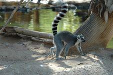 Free Ringtail Lemur Royalty Free Stock Images - 1252129