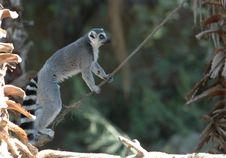 Free Ringtail Lemur Royalty Free Stock Image - 1252146