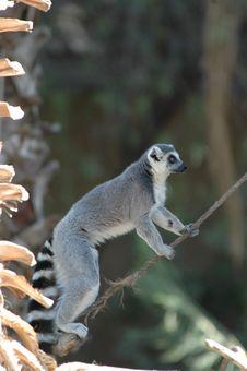 Free Ringtail Lemur Royalty Free Stock Photo - 1252155
