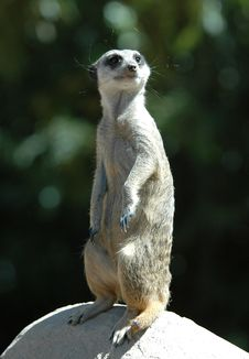 Free Meerkat On The Rock Royalty Free Stock Photography - 1252307