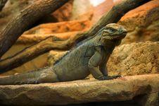 Free Iguana Rhinoceros Stock Photos - 1252703