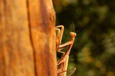 Free Praying Mantis Stock Photos - 1253213