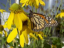 Free Monarch On Flower Stock Photos - 1253243