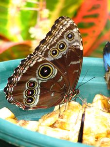 Free Close Up Of Common Blue Morpho Butterfly Royalty Free Stock Photography - 1253797